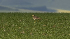 stone curlew running to its mate (HHH Honey) Tags: bird nocturnal unusual 77 rare stonecurlew sony70300g sonya7rii