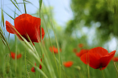 Red Poppies (stefaniebst) Tags: red wild flower nature fleur rouge spring soft natural sweet bokeh outdoor poppy poppies botanic botanique printemps coquelicot sauvage naturelover naturescape bucolique naturescene