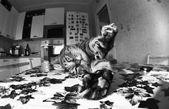 Il riposo del guerriero (Yuski) Tags: cat chat gatto micio