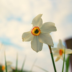 Narcissus (Lux Obscura) Tags: flower may mai dying narcissus