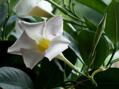Mandevilla Flowers | Lewis' Garden on Weiss Lake (steveartist) Tags: mandevillaflowers closeups sonydscrx100 stevefrenkel phototoaster
