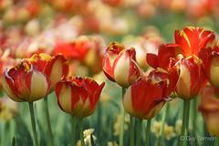Tulipes (guysamsonphoto) Tags: flowers dof tulips bokeh guysamson sony70200f4 sonyalpha7rmkii