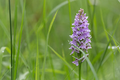 Finally (Pittypomm) Tags: orchid forest dean spotted common yat dactylorhiza symonds fuchsii