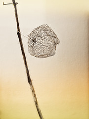 Blowing in the Wind (parkerbernd) Tags: bw white plant black flower color texture sepia silver cherry lumix wind chinese blowing panasonic colored lantern dried physalis yellowed lampionblume efex gx1