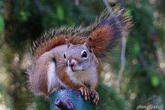 Red Squirrel (--Anne--) Tags: cute nature animals squirrel squirrels wildlife redsquirrel naturephotography