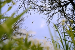 Up in the sky (tomas.jezek) Tags: nature meadow sky bird grass flowers trees green blue frema border natural spring