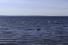 Swantastic lake view (J. Roseen) Tags: lake water birds view sweden outdoor norden swans nordic sverige scandinavia utsikt vatten omberg vttern fglar sj stergtland utomhus scandinavien svanar friluftliv eos7dmkii jrgenrosn