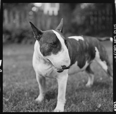Sunny (chadtimm) Tags: dog mamiya analog ishootfilm ilfordhp5 bully bullterrier englishbullterrier c330 ebt keepfilmalive 80mm28 believeinfilm