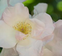 love revealed (Fe 108Aums) Tags: morning pink light love rose happy god secret soul blush wakingup rumi revealed arise treasurewithin whisperofpink