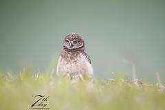 Little owlet (Seventh day photography.ca) Tags: bird animal spring unitedstates florida wildlife raptor owl wildanimal predator birdofprey carnivore burrowingowl owlet