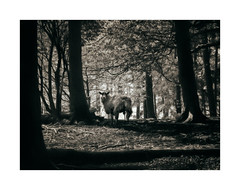 If Ewe Go Down To The Woods Today... (icypics) Tags: trees silhouette sepia sheep derbyshire peakdistrict backlit chatsworth subframe