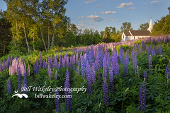 St Matthews Church (Bill Wakeley) Tags: flowers sunset mountains church floral spring glow purple dusk newengland newhampshire sunsets franconia ethereal glowing pastures serene wildflowers pastoral wildflower springflowers purpleflower lupine warmlight purpleflowers sugarhill lupines northernnewengland springflower countrychurch thewhitemountains sceniclandscape sceniclandscapes newenglandlandscape floweringlandscape billwakeley floweringlandscapes