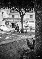 Mr Coq (Jack_from_Paris) Tags: l1005195bw leica m type 240 10770 leicaelmaritm28mmf28asph 11606 dng mode lightroom capture nx2 lr monochrom noiretblanc street guadeloupe gwada lombre waiting attente la pause sun soleil le moule coq place fleuriste arbre tree