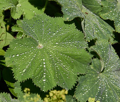 silver drops (GF) Tags: flowers plants nature garden none pflanze muster weinheim textur hermanshof sony50mm18 organisches sonya6000