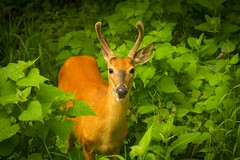 Red Coat (popago) Tags: outdoor deer serene buck whitetail shenandoahnational