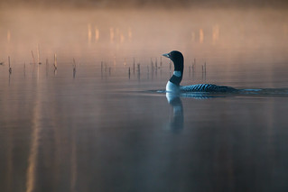 Common loon-5717
