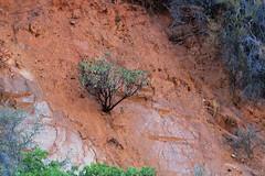 Manzanita Tree, Sierra National Forest (lotos_leo) Tags: california travel mountains tree nature landscape outdoor yosemite mountainside sierranationalforest manzanitatree   road140  centralyosemitehighway crossamerica2015