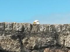 Peepo (andy.j1) Tags: wall cornwall seagull stives