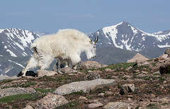 Mountain Goat (Tundra Winds Images by Donna) Tags: colorado 14 000mtevans continentaldividebehind oreomnosamericanus