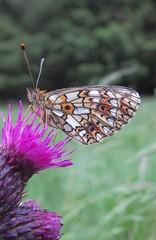 Small Pearl Bordered Fritillary(?) butterfly underwing (stuant63) Tags: scotland angus cairngormsnationalpark boloriaselene upperglenclova