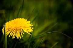Viewfinder-45 (sven.vansantvliet) Tags: blue shadow sky flower colors yellow fleurs jaune drops weide couleurs schaduw geel bloem druppel tulp kleuren tullip paardebloem boterbloem pisbloem lentebloesembloemenbijhuis