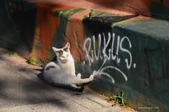 The Cat (Mine Beyaz) Tags: cat kedi istanbul turkey turkiye pet animal hayvan street sokak wall duvar straycat