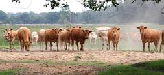 cows (bugman11) Tags: nature animal animals fauna canon mammal cow cows nederland thenetherlands 1001nights mammals boxtel greatphotographers thegalaxy platinumheartaward 100mm28lmacro 1001nightsmagiccity infinitexposure badmiredininfinitexposurebahrefhttpswwwflickrcomgroupsix1titlelevel1bawardimgsrchttpsfarm8staticflickrcom743212870948625671bbe0d88mjpgwidth240height79apost1 award3onthefirstpage5awards postyourimageahrefhttpswwwflickrcomgroupsix2bhereba