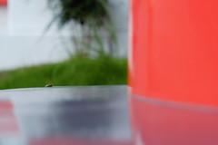 (Yorozuna / ) Tags: shrine frog niigata  treefrog vermilion nagaoka      inarishrine    hylajaponica japanesetreefrog     pentaxautotakumar55mmf18   houtokusaninaritaisha houtokusaninarishrine