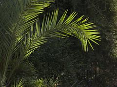 Palm & Light on Dark Background (zeevveez) Tags: light canon background palm zeevveez