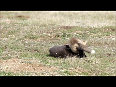 Fox Kits Wrestling (T0nyJ0yce) Tags: wild baby playing cute animals funny wrestling wildlife fox kits cubs pup fighting foxes silverfox redfox foxden canon7dmarkii tamron150600