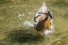 eine Welle machen (Patrick29985) Tags: deutschland zoo tiere duck wings wasser schwimmen action sony hannover bewegung tele alpha tierpark tamron teich ente tier vogel watter telezoom niedersachsen flgel tamron70300 herrlich sonyalpha erlebniszoo sonyalpha77ii