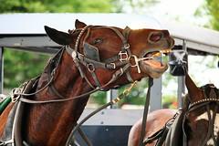 IMG_3797 (joyannmadd) Tags: amish horses intercourse pennsylvania kitchenkettlevillage farm animals lancaster coumty pa farms nature outdoors