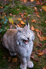 That's funny (Cloudtail the Snow Leopard) Tags: animal cat mammal feline yawn katze lynx tier pforzheim ghnen wildpark luchs sugetier kasimir