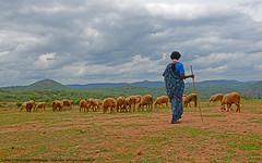 BEFORE THE RAINS... (GOPAN G. NAIR [ GOPS Photography ]) Tags: gops gopsorg gopsphotography gopangnair gopan photography shepherd village rural karnataka india life
