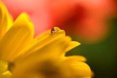 Lagrima de cristal -In Explore-19-06-2016 (marcus turkill) Tags: flowers flores macro water waterdrop daisy margarita macrophotography macrofotografia gotadeagua nikond3300