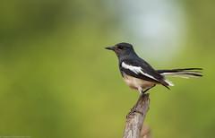 The oriental magpie-robin (Copsychus saularis) (Ganesh R. Mandavkar) Tags: wild wildlife oriental konkan magpierobin copsychus wildindia saularis