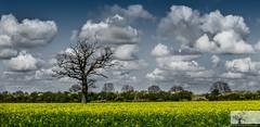 Cardington Bedfordshire (Rob Felton) Tags: light sunset sky cloud sun plant tree silhouette clouds landscape bedford countryside outdoor bedfordshire rape serene felton rapeseed oilseedrape rapa rapaseed brassicanapus cardington rappi robertfelton southillroad