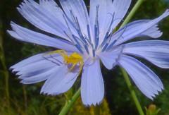 Thomisus onustus f (chicory) (bego vega) Tags: madrid blue plant flower macro planta animal azul female ro flor vega chicory guadarrama bv bego arachnida hembra cichorium intybus thomisus achicoria arcnido thomisidae onustus