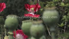 Danish Flag Papaver Somniferum Opium POPPY Pods n Flowers by- OrganicalBotanicals_Com 7 (gjaypub) Tags: flowers plants nature silhouette photography pod photos gardening bees seed seeds poppy poppies growing opium pods cultivation papaver somniferum morphine cultivating papaversomniferum 2016 potency poppyhead alkaloids organicalbotanicals