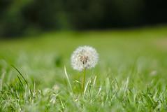Pusteblume (nekudo) Tags: outdoor lwenzahn pusteblume wiese gras