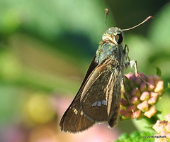 DSC_0744 (rachidH) Tags: flowers nepal lake nature blossoms butterflies insects blooms lantana pokhara fewa phewa papillons skipperbutterfly chestnutbob lambrixsalsala rachidh