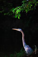 Purple Heron (Arvind Manjunath) Tags: india eye nature you wildlife goose thank fugl oiseau vogel manuk  zog lintu burung ptk ocell    birdo vol fgel  pauktis    intaka    vogelstand  arvindmanjunath   motofotog arvindm29