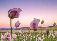 Soft Opium (IrreBerenT) Tags: longexposure pink flowers sunset nature rural landscape spring soft fields opium campos opio adormidera natu irreberentenataliaaguado