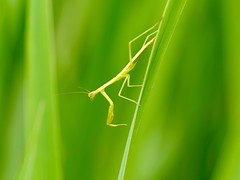 Child of the mantis (dayonkaede) Tags: mantis insect olympus f28 em1 mc14 m40150mm