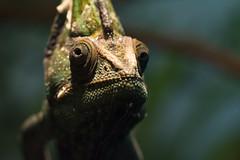 Veiled Chameleon 09 (cypher40k Photography) Tags: toronto color colour zoo nikon reptile chameleon torontozoo veiledchameleon
