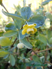 Berberis Temolaica 2 (Landstrider1691) Tags: blue tree yellow bush shrub spines spiny berberis smalltree