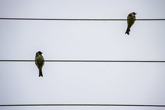 Accord (Angelo Petrozza) Tags: birds uccelli cardellino stripes linee pentax sky cielo two due parallelism parallelo