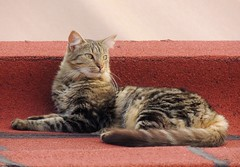 Flor (Ani Carrington) Tags: pet love cat fur furry sweet tabby tabbycat longhairedcat lonhaired