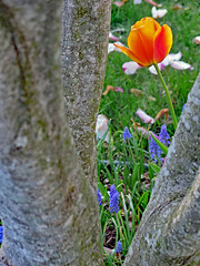 Tulip through tree (Kurtsview) Tags: blue orange plant flower tree bulb garden spring tulips outdoor hyacinth