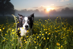 Tiptoeing through the Buttercups (svensl) Tags: border collie molly portrait camo estate edinburgh conceptual canine dog photo